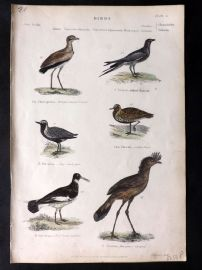 Richardson 1862 HC Bird. Bronze Winged Courser, Golden Plover, Oyster Catcher